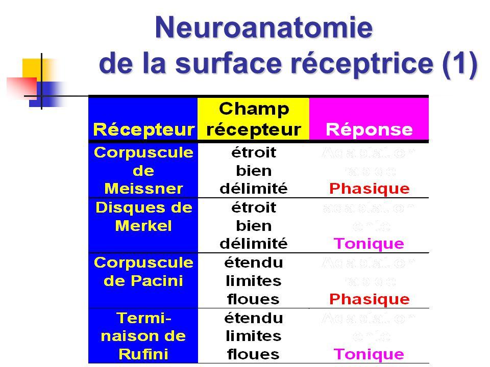 Neuroanatomie de la surface réceptrice (1)