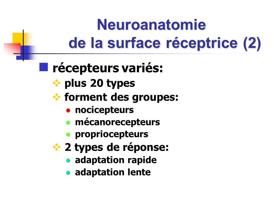 Neuroanatomie de la surface réceptrice (2) récepteurs variés: plus 20 types forment des groupes: nocicepteurs mécanorecepteurs propriocepteurs 2 types de réponse: adaptation rapide adaptation lente