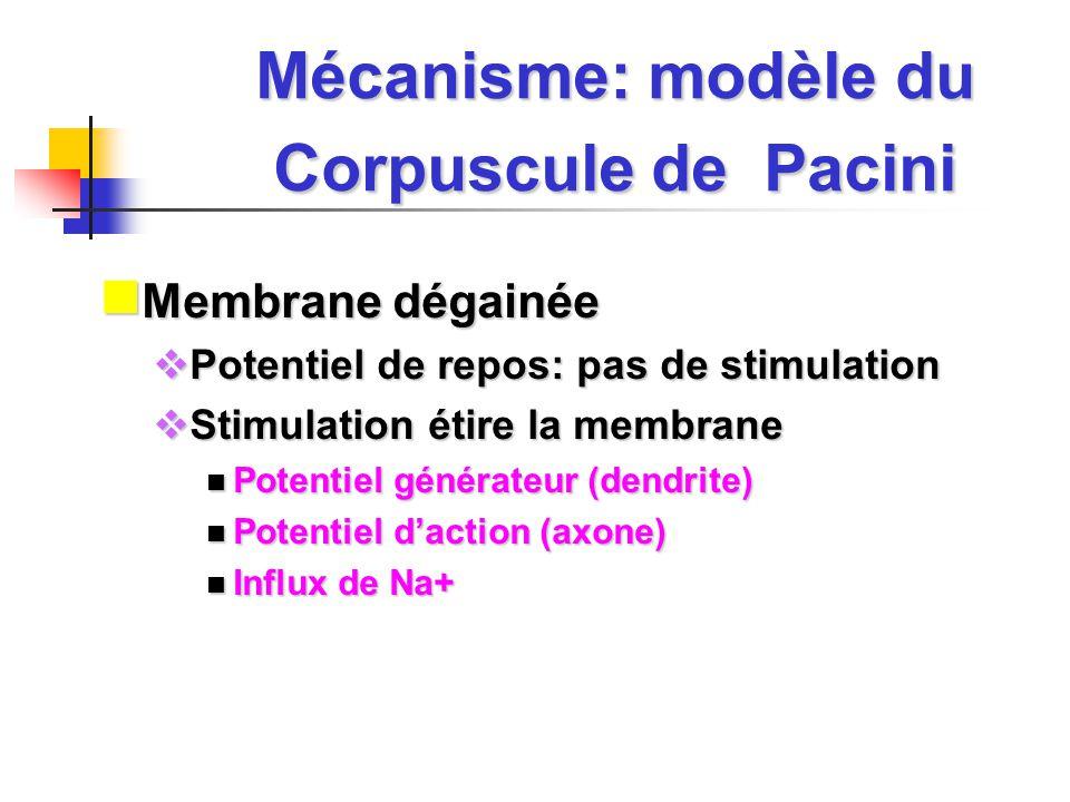 Mécanisme: modèle du Corpuscule de Pacini Membrane dégainée Membrane dégainée Potentiel de repos: pas de stimulation Potentiel de repos: pas de stimulation Stimulation étire la membrane Stimulation étire la membrane Potentiel générateur (dendrite) Potentiel générateur (dendrite) Potentiel daction (axone) Potentiel daction (axone) Influx de Na+ Influx de Na+