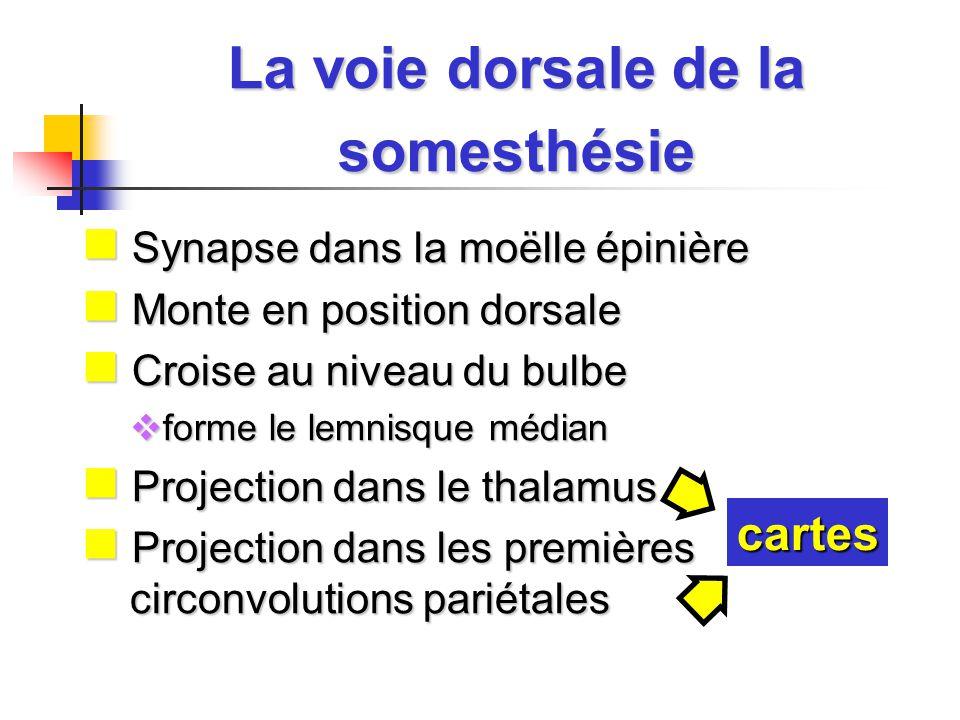 La voie dorsale de la somesthésie Synapse dans la moëlle épinière Synapse dans la moëlle épinière Monte en position dorsale Monte en position dorsale Croise au niveau du bulbe Croise au niveau du bulbe forme le lemnisque médian forme le lemnisque médian Projection dans le thalamus Projection dans le thalamus Projection dans les premières circonvolutions pariétales Projection dans les premières circonvolutions pariétales cartes