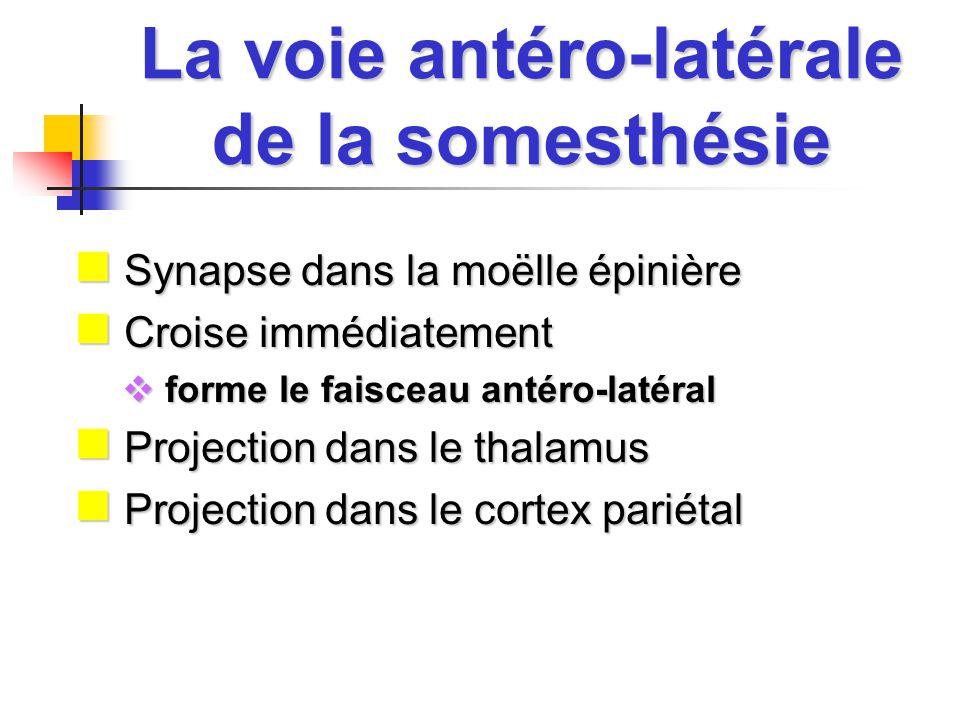 La voie antéro-latérale de la somesthésie Synapse dans la moëlle épinière Synapse dans la moëlle épinière Croise immédiatement Croise immédiatement forme le faisceau antéro-latéral forme le faisceau antéro-latéral Projection dans le thalamus Projection dans le thalamus Projection dans le cortex pariétal Projection dans le cortex pariétal