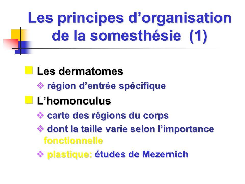 Les principes dorganisation de la somesthésie (1) Les dermatomes Les dermatomes région dentrée spécifique région dentrée spécifique Lhomonculus Lhomon