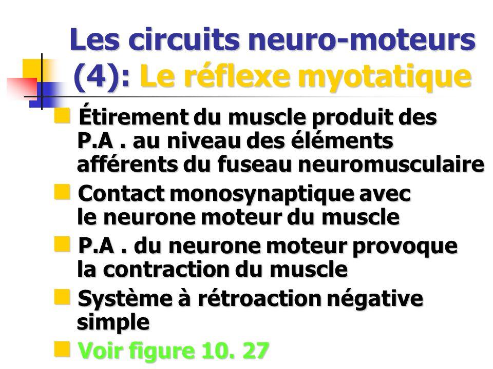 Les circuits neuro-moteurs (4): Le réflexe myotatique Étirement du muscle produit des P.A. au niveau des éléments afférents du fuseau neuromusculaire