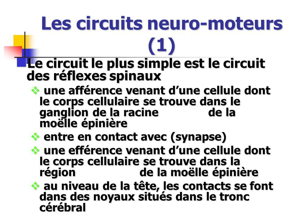 Les circuits neuro-moteurs (1) Le circuit le plus simple est le circuit des réflexes spinaux Le circuit le plus simple est le circuit des réflexes spinaux une afférence venant dune cellule dont le corps cellulaire se trouve dans le ganglion de la racine de la moëlle épinière une afférence venant dune cellule dont le corps cellulaire se trouve dans le ganglion de la racine de la moëlle épinière entre en contact avec (synapse) entre en contact avec (synapse) une efférence venant dune cellule dont le corps cellulaire se trouve dans la région de la moëlle épinière une efférence venant dune cellule dont le corps cellulaire se trouve dans la région de la moëlle épinière au niveau de la tête, les contacts se font dans des noyaux situés dans le tronc cérébral au niveau de la tête, les contacts se font dans des noyaux situés dans le tronc cérébral