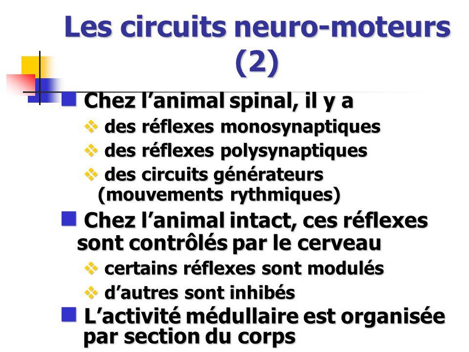 Les circuits neuro-moteurs (2) Chez lanimal spinal, il y a Chez lanimal spinal, il y a des réflexes monosynaptiques des réflexes monosynaptiques des réflexes polysynaptiques des réflexes polysynaptiques des circuits générateurs (mouvements rythmiques) des circuits générateurs (mouvements rythmiques) Chez lanimal intact, ces réflexes sont contrôlés par le cerveau Chez lanimal intact, ces réflexes sont contrôlés par le cerveau certains réflexes sont modulés certains réflexes sont modulés dautres sont inhibés dautres sont inhibés Lactivité médullaire est organisée par section du corps Lactivité médullaire est organisée par section du corps