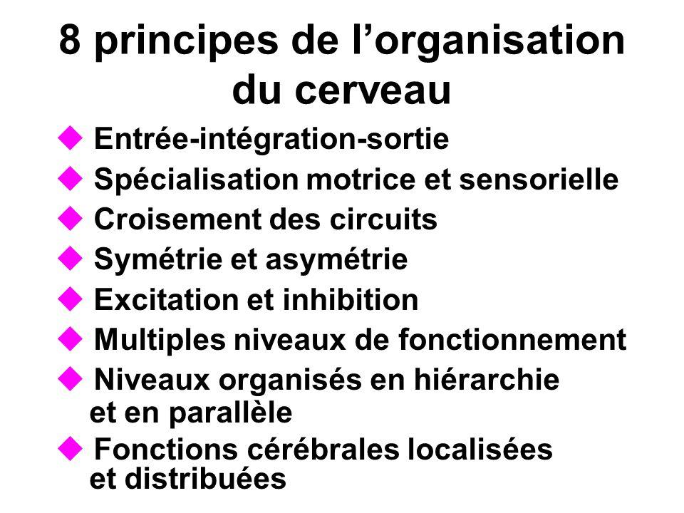 8 principes de lorganisation du cerveau Entrée-intégration-sortie Spécialisation motrice et sensorielle Croisement des circuits Symétrie et asymétrie