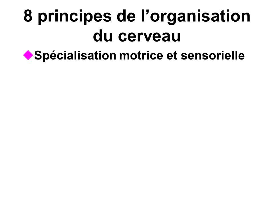 8 principes de lorganisation du cerveau Spécialisation motrice et sensorielle