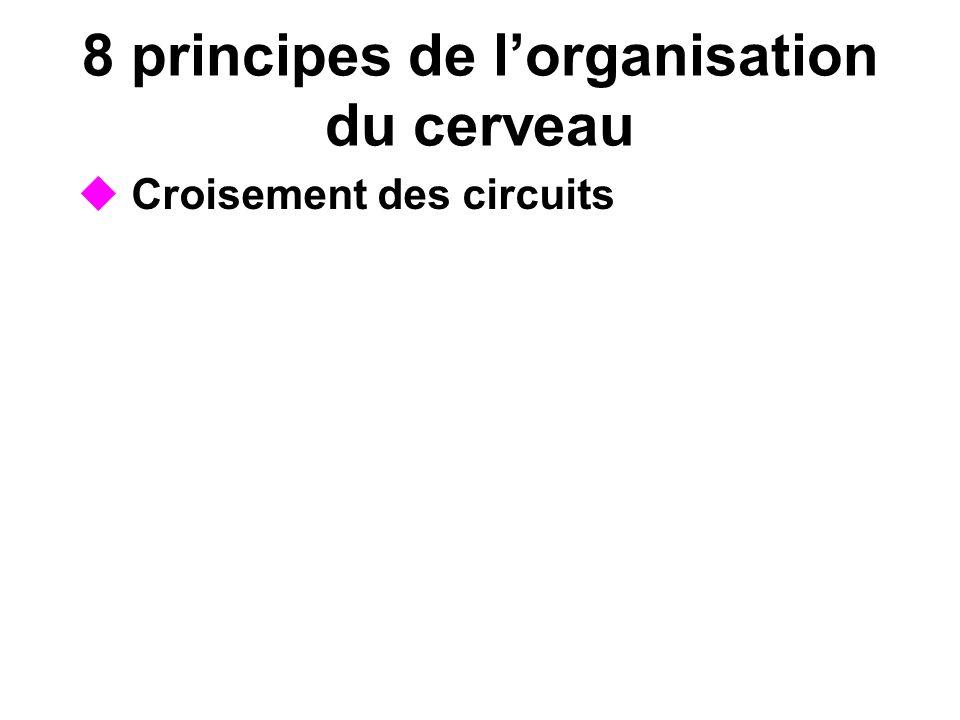 8 principes de lorganisation du cerveau Croisement des circuits