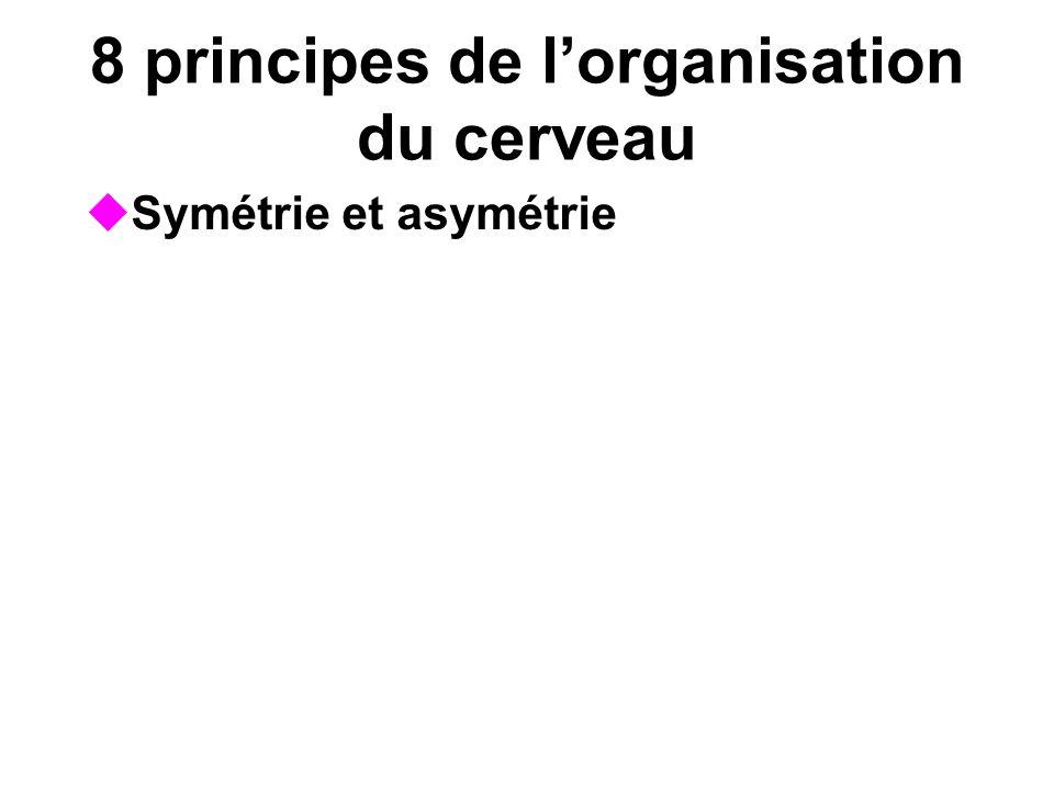 8 principes de lorganisation du cerveau Symétrie et asymétrie