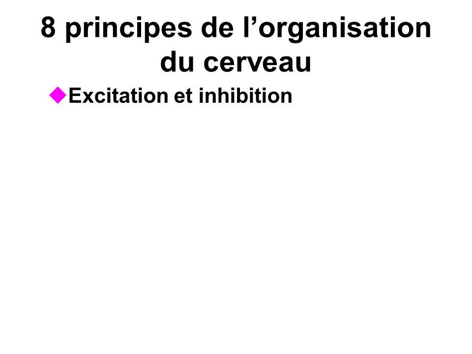 8 principes de lorganisation du cerveau Excitation et inhibition