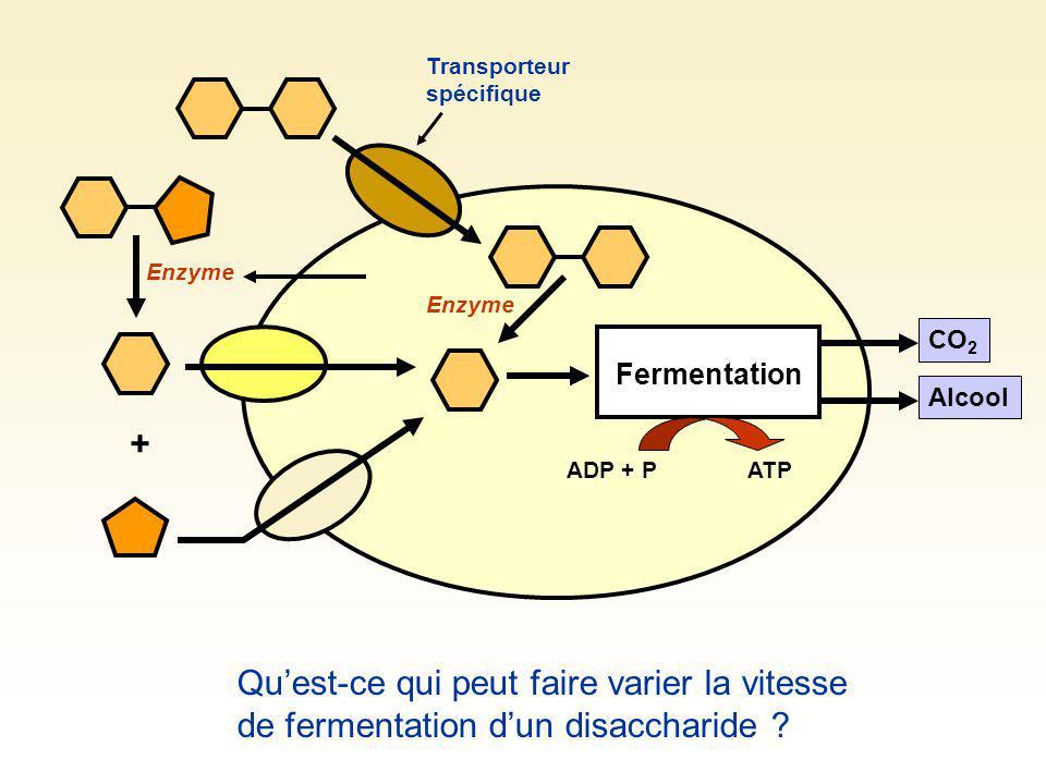 Fermentation CO 2 Alcool + Enzyme ADP + PATP Transporteur spécifique Enzyme Quest-ce qui peut faire varier la vitesse de fermentation dun disaccharide