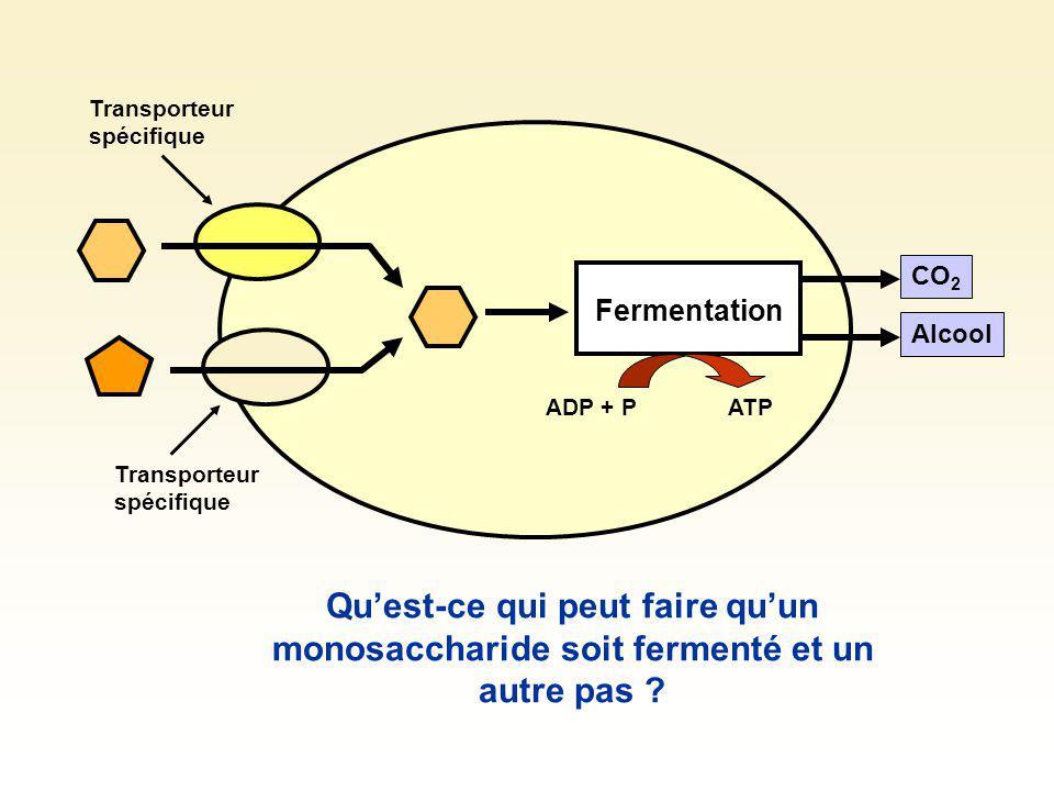 Fermentation CO 2 Alcool Transporteur spécifique ADP + PATP Quest-ce qui peut faire varier la vitesse de fermentation dun monosaccharide ?