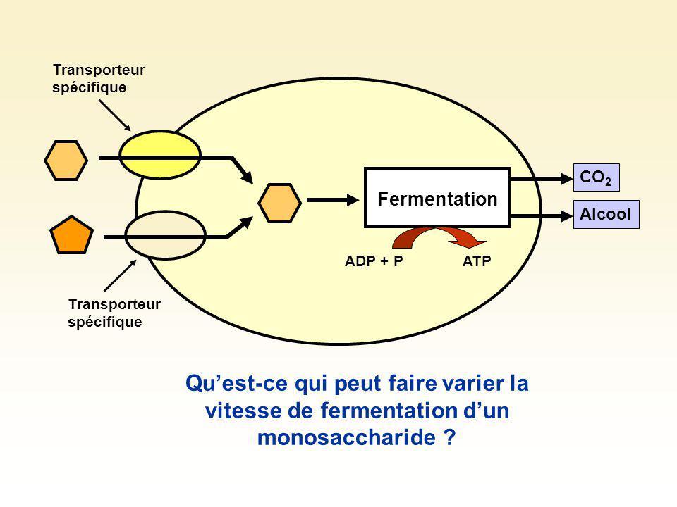 Fermentation CO 2 Alcool Disaccharides La digestion peut être externe + Enzyme La cellule possède, dans sa membrane, côté externe, lenzyme pouvant digérer le disaccharide.