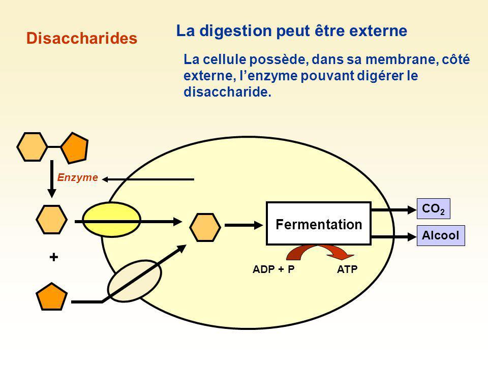 Fermentation CO 2 Alcool Disaccharides La digestion peut être externe + Enzyme La cellule possède, dans sa membrane, côté externe, lenzyme pouvant dig