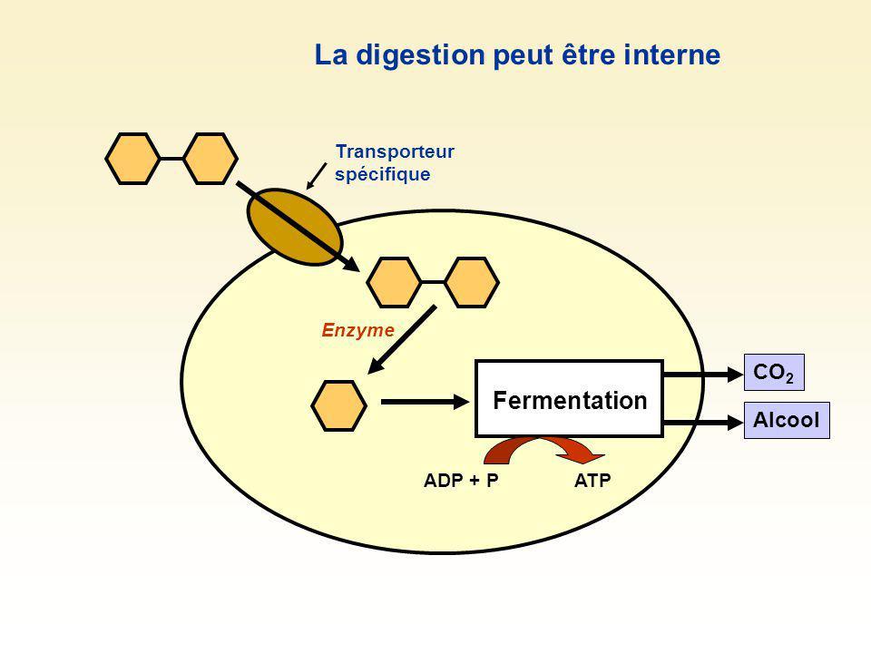 Fermentation CO 2 Alcool Enzyme La digestion peut être interne Transporteur spécifique ADP + PATP