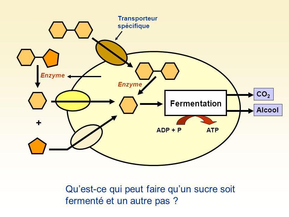 Fermentation CO 2 Alcool + Enzyme ADP + PATP Transporteur spécifique Enzyme Quest-ce qui peut faire quun sucre soit fermenté et un autre pas ?