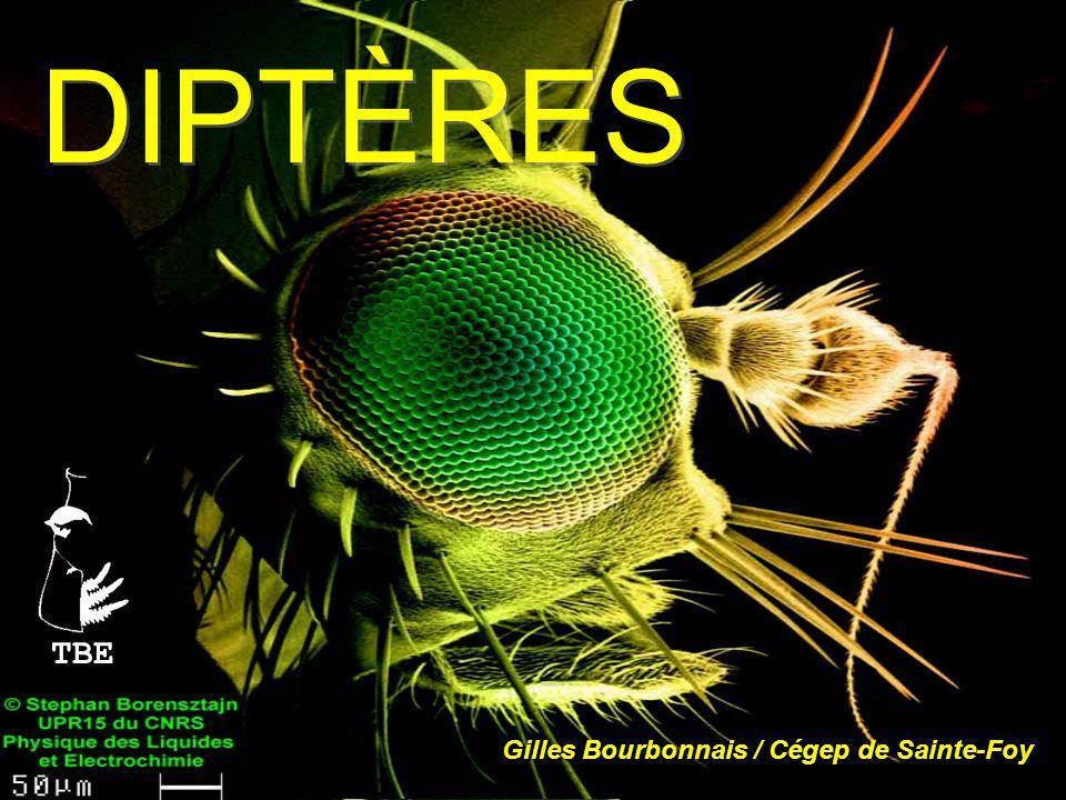 S.O.Cyclorrhaphes F. Syrphidae (Syrphes ou mouches à fleurs) Grande famille très commune.