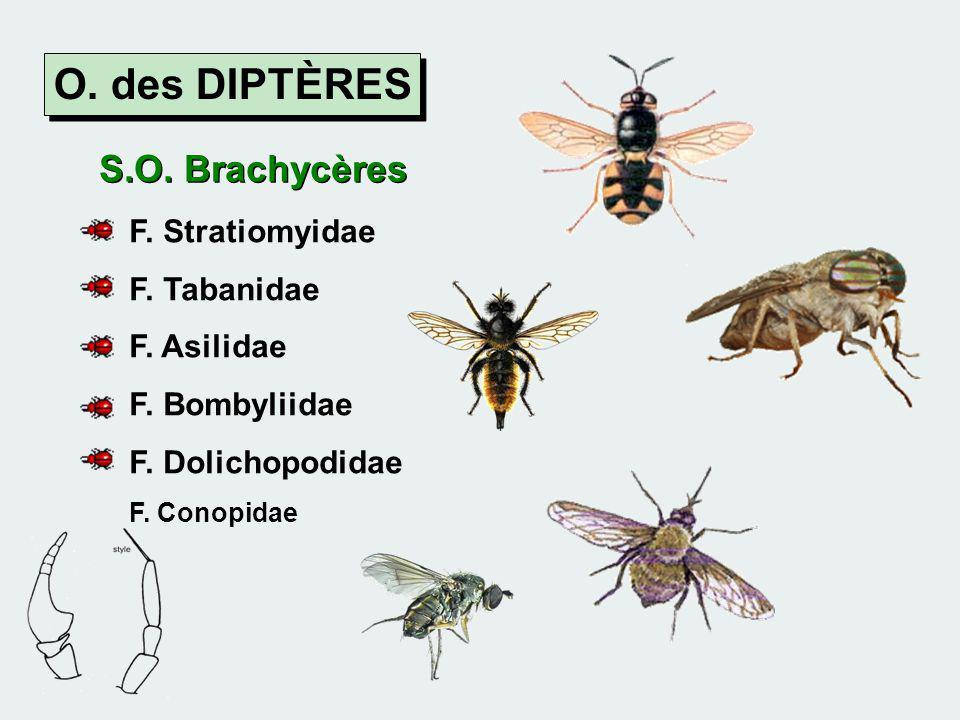 O. des DIPTÈRES S.O. Brachycères F. Stratiomyidae F. Tabanidae F. Asilidae F. Bombyliidae F. Dolichopodidae F. Conopidae