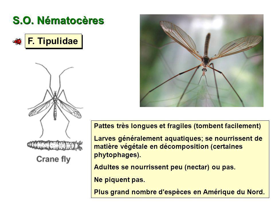S.O. Nématocères F. Tipulidae Pattes très longues et fragiles (tombent facilement) Larves généralement aquatiques; se nourrissent de matière végétale