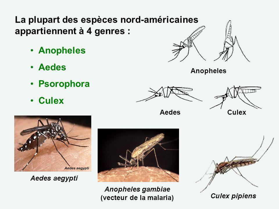 La plupart des espèces nord-américaines appartiennent à 4 genres : Anopheles Aedes Psorophora Culex AedesCulex Anopheles Culex pipiens Anopheles gambi