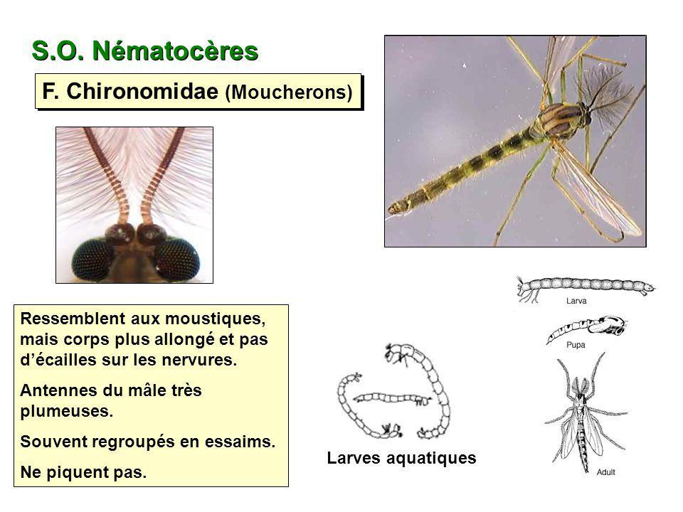 F. Chironomidae (Moucherons) S.O. Nématocères Larves aquatiques Ressemblent aux moustiques, mais corps plus allongé et pas décailles sur les nervures.