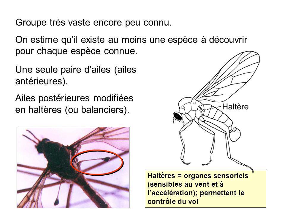 S.O.Brachycères F. Tabanidae (Mouches à chevreuils, taons, frappe-à-bord) Femelles hématophages.