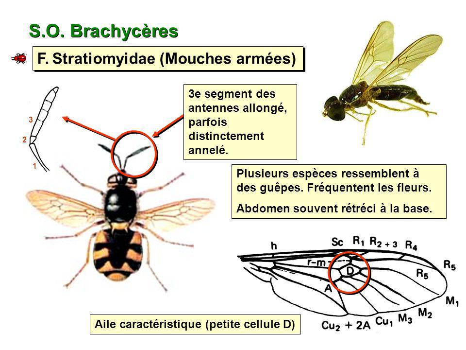 S.O. Brachycères F. Stratiomyidae (Mouches armées) Plusieurs espèces ressemblent à des guêpes. Fréquentent les fleurs. Abdomen souvent rétréci à la ba
