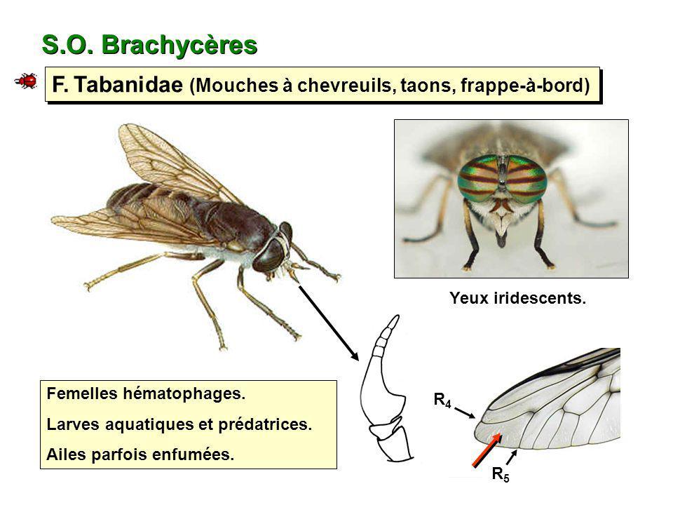 S.O. Brachycères F. Tabanidae (Mouches à chevreuils, taons, frappe-à-bord) Femelles hématophages. Larves aquatiques et prédatrices. Ailes parfois enfu