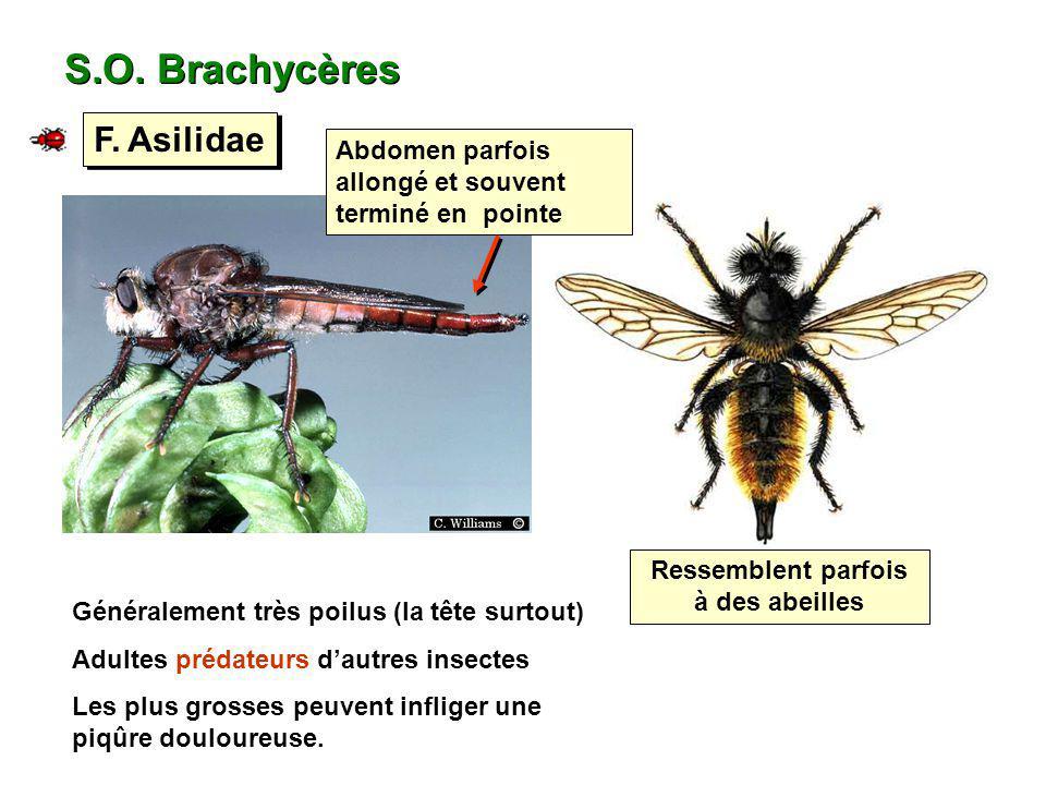 S.O. Brachycères F. Asilidae Ressemblent parfois à des abeilles Abdomen parfois allongé et souvent terminé en pointe Généralement très poilus (la tête