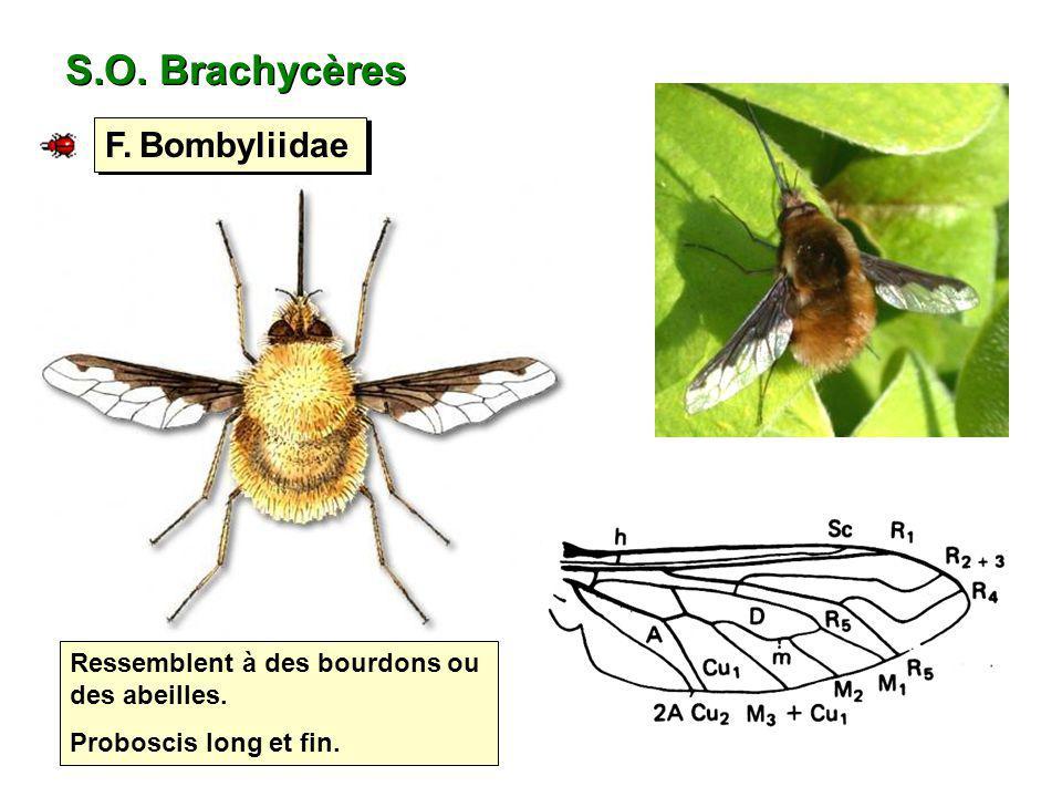 S.O. Brachycères F. Bombyliidae Ressemblent à des bourdons ou des abeilles. Proboscis long et fin.