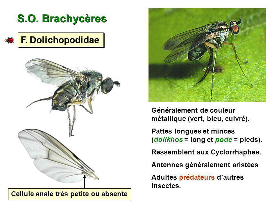S.O. Brachycères F. Dolichopodidae Cellule anale très petite ou absente Généralement de couleur métallique (vert, bleu, cuivré). Pattes longues et min