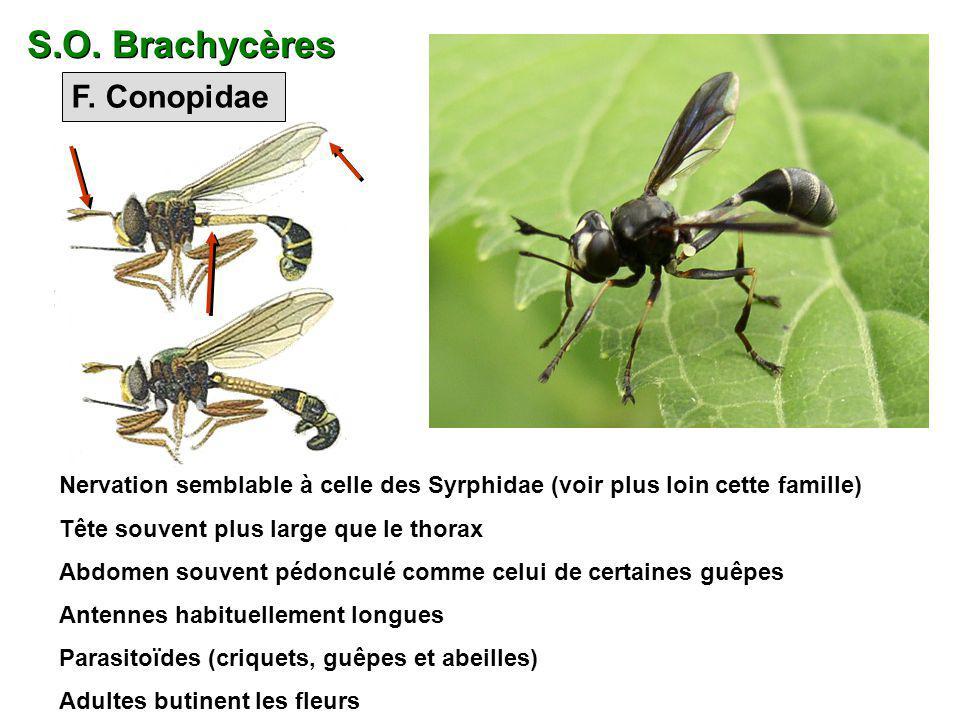 F. Conopidae Nervation semblable à celle des Syrphidae (voir plus loin cette famille) Tête souvent plus large que le thorax Abdomen souvent pédonculé