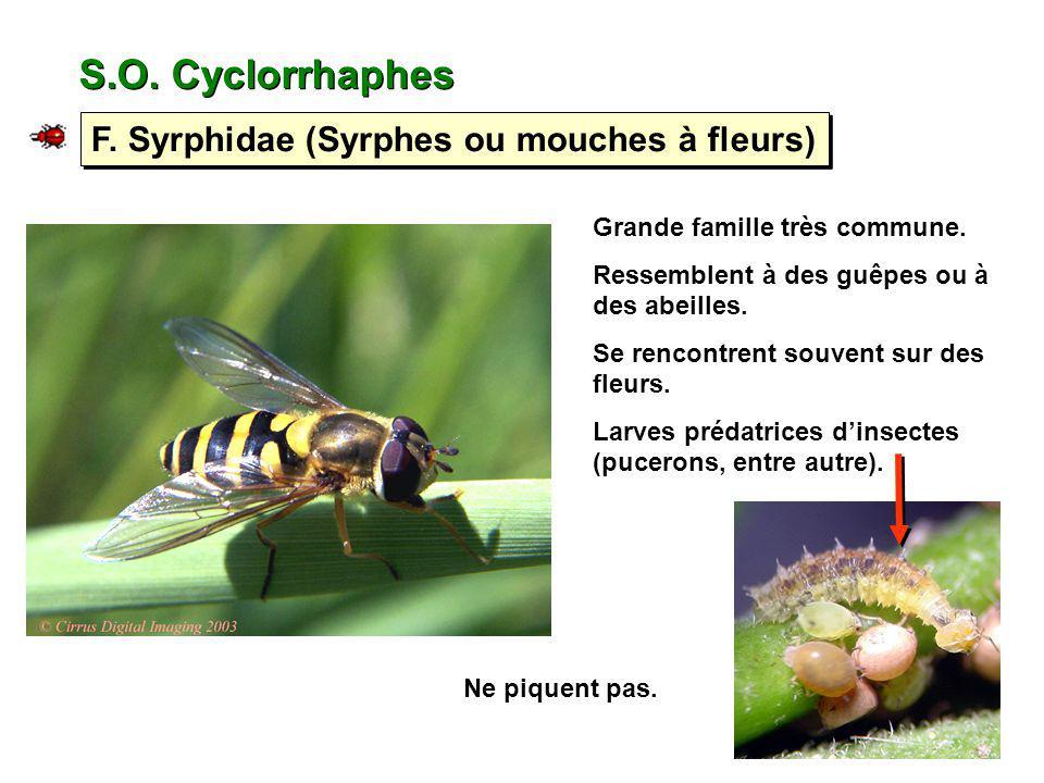 S.O. Cyclorrhaphes F. Syrphidae (Syrphes ou mouches à fleurs) Grande famille très commune. Ressemblent à des guêpes ou à des abeilles. Se rencontrent