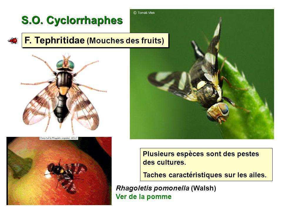 S.O. Cyclorrhaphes Plusieurs espèces sont des pestes des cultures. Taches caractéristiques sur les ailes. F. Tephritidae (Mouches des fruits) Rhagolet