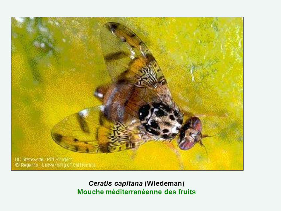 Ceratis capitana (Wiedeman) Mouche méditerranéenne des fruits