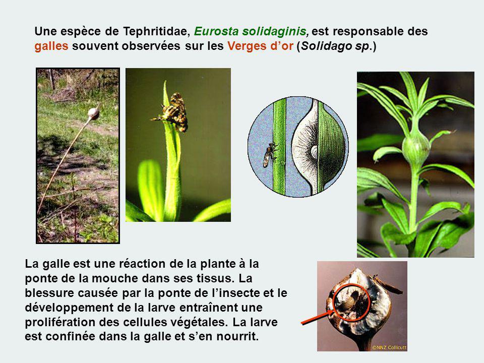 Une espèce de Tephritidae, Eurosta solidaginis, est responsable des galles souvent observées sur les Verges dor (Solidago sp.) La galle est une réacti
