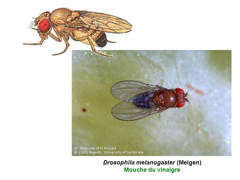 Drosophila melanogaster (Meigen) Mouche du vinaigre