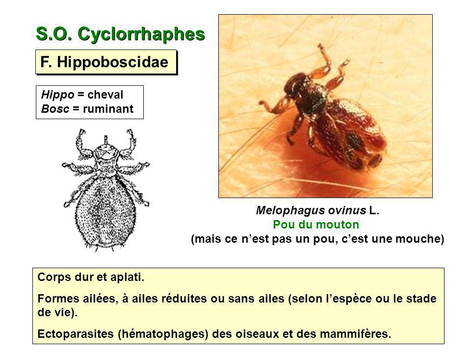 S.O. Cyclorrhaphes F. Hippoboscidae Hippo = cheval Bosc = ruminant Corps dur et aplati. Formes ailées, à ailes réduites ou sans ailes (selon lespèce o
