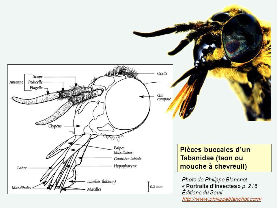 Pièces buccales dun Tabanidae (taon ou mouche à chevreuil) Photo de Philippe Blanchot « Portraits dinsectes » p. 216 Éditions du Seuil http://www.phil