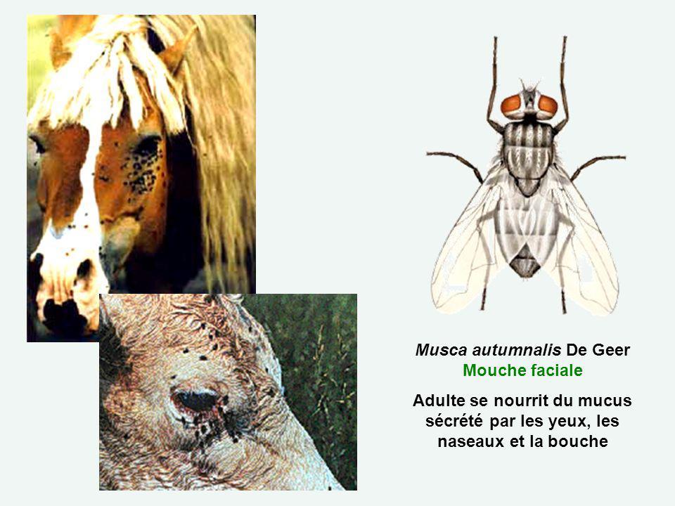 Musca autumnalis De Geer Mouche faciale Adulte se nourrit du mucus sécrété par les yeux, les naseaux et la bouche