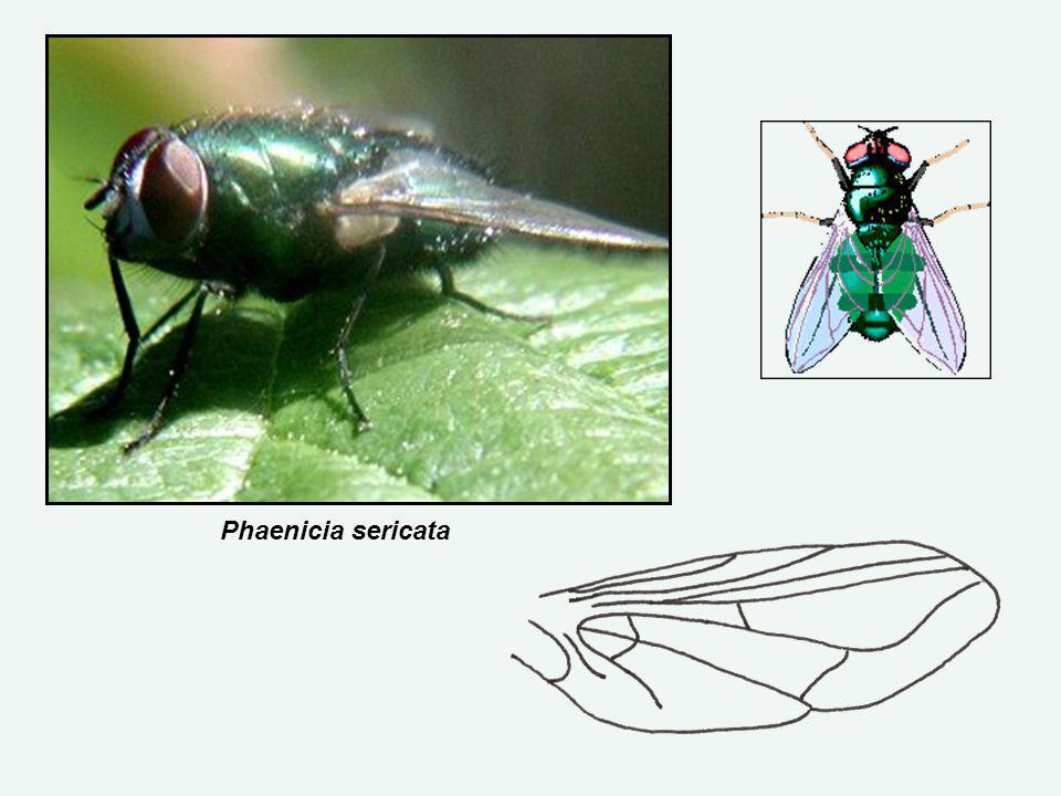Phaenicia sericata