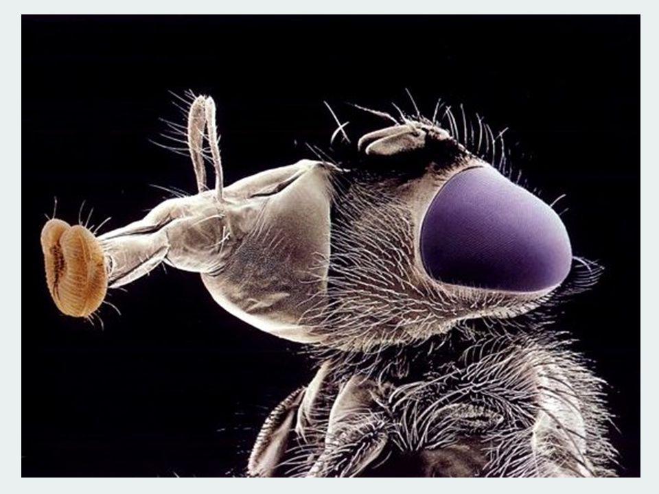 F.Chaoboridae S.O. Nématocères Larve aquatique prédatrice (de larves de moustiques entre autre).