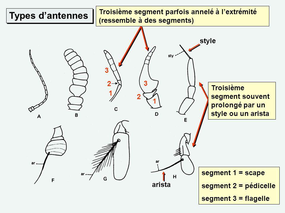 Types dantennes arista Troisième segment souvent prolongé par un style ou un arista style Troisième segment parfois annelé à lextrémité (ressemble à d