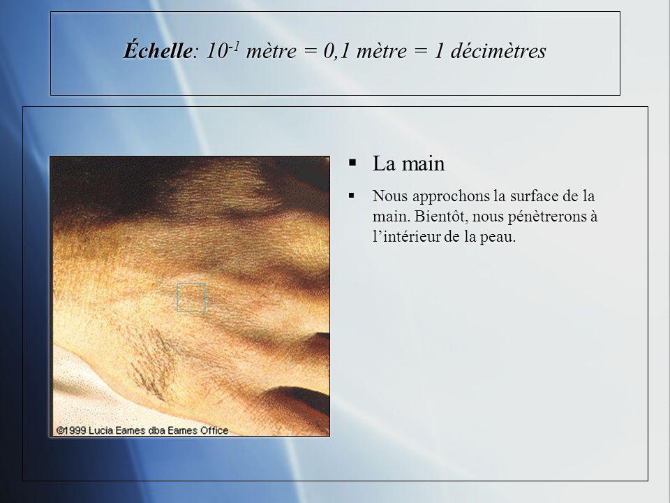 Échelle: 10 -1 mètre = 0,1 mètre = 1 décimètres La main Nous approchons la surface de la main. Bientôt, nous pénètrerons à lintérieur de la peau.