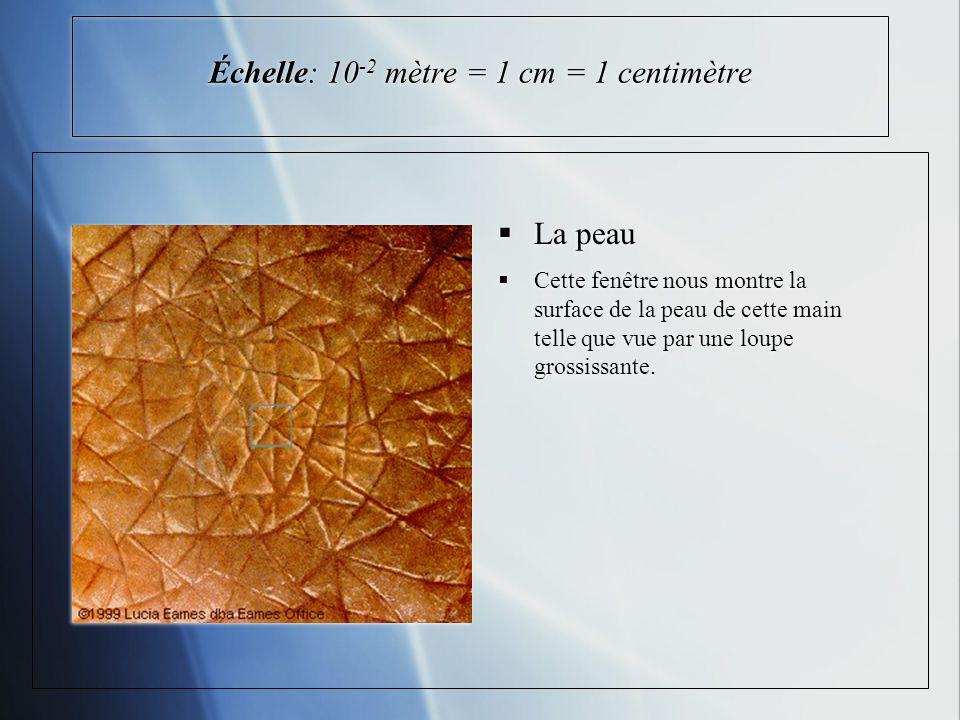 Échelle: 10 -2 mètre = 1 cm = 1 centimètre La peau Cette fenêtre nous montre la surface de la peau de cette main telle que vue par une loupe grossissante.