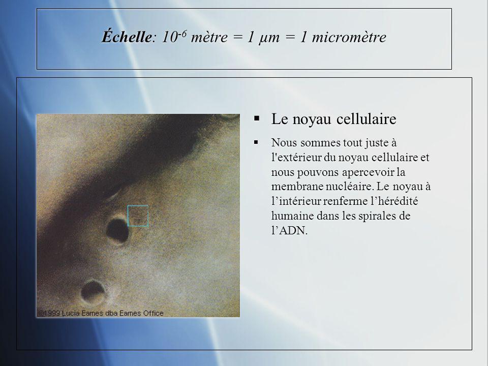 Échelle: 10 -6 mètre = 1 µm = 1 micromètre Le noyau cellulaire Nous sommes tout juste à l'extérieur du noyau cellulaire et nous pouvons apercevoir la