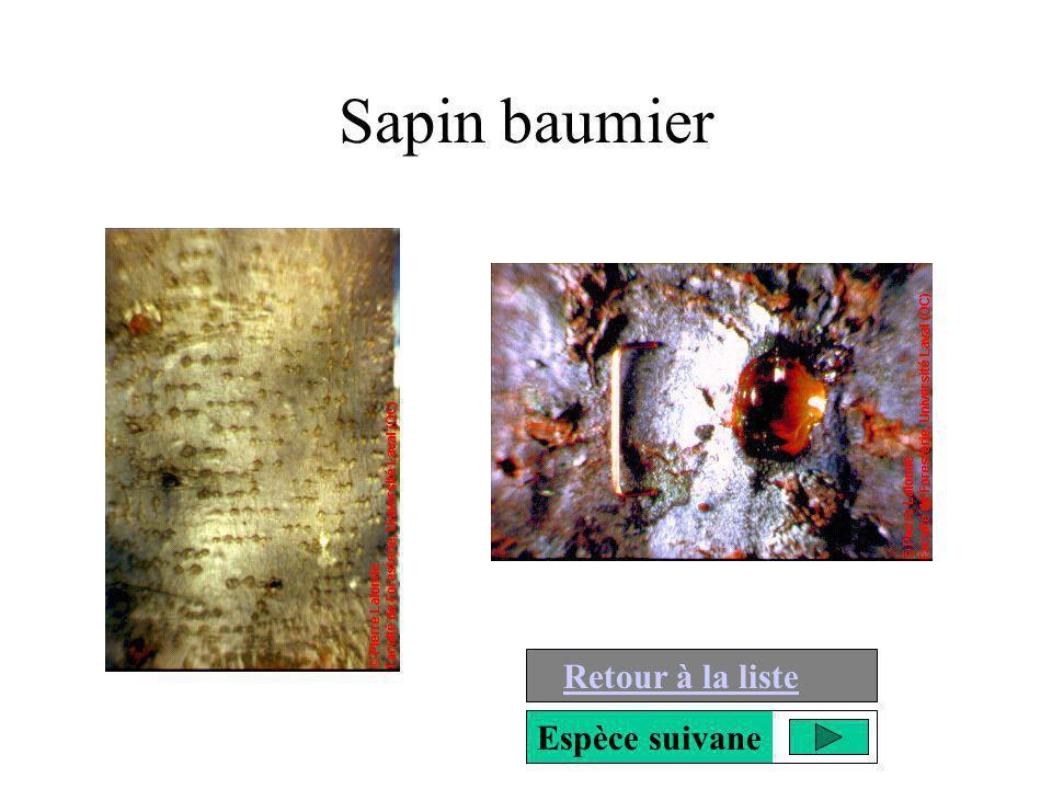 Sapin baumier Retour à la liste Espèce suivane