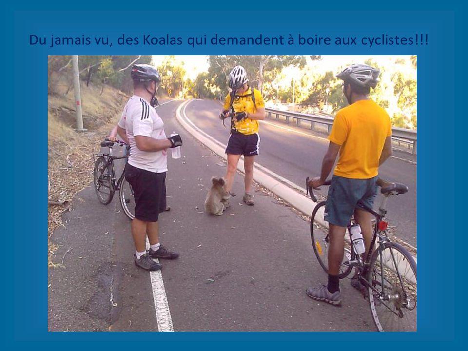 Du jamais vu, des Koalas qui demandent à boire aux cyclistes!!!