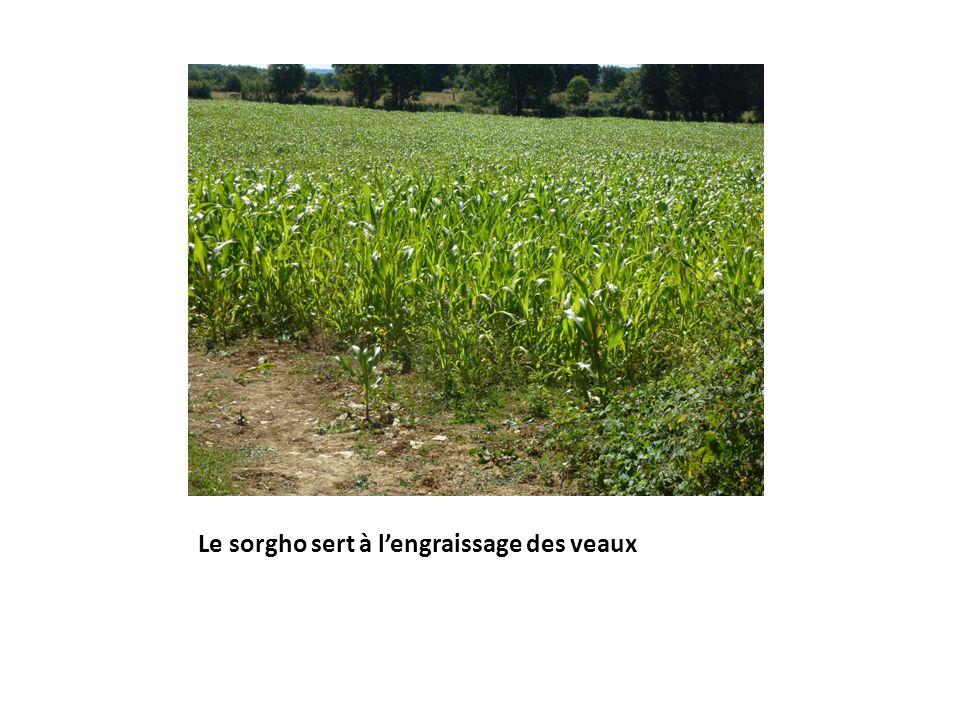 Le sorgho sert à lengraissage des veaux