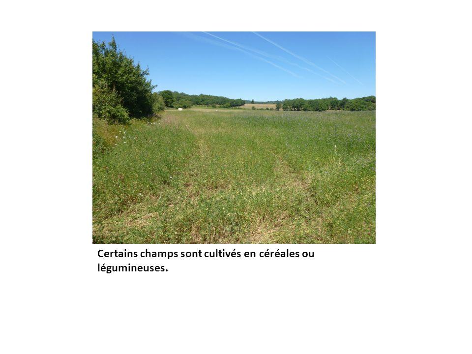 Certains champs sont cultivés en céréales ou légumineuses.